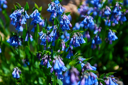 Mertensia ciliata Mountain bluebells Tall fringed bluebells, purple and blue bells at 11000 ft in the Rocky Mountains, Colorado 版權商用圖片