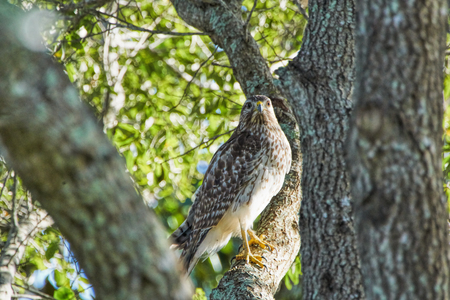 Red-shouldered Hawk Buteo lineatus in a tree in Windermere Florida camouflaged and matching perfectly the tree 版權商用圖片