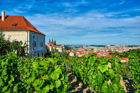 View from a vineyard on hill overlooking Prague with the Hradcany Castle and St. Vitus