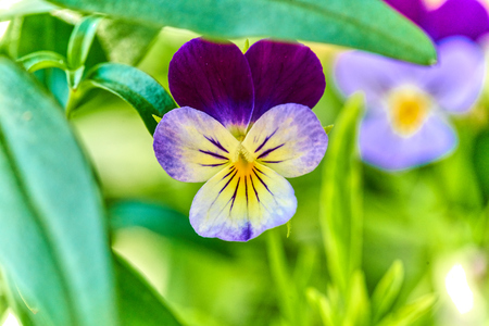 Viola tricolor Johnny Jump up close-up on natural background in its natural habitat with green out of focus background also known as three faces in a hood 版權商用圖片