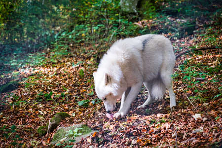 polarwolf in the forest polar wolf eating