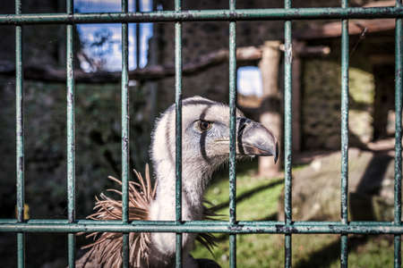 vulture, griffon vulture,  caught in cage