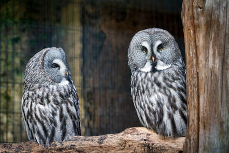 great grey owl yellow eyes