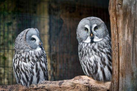 Great gray owl in a duo Banco de Imagens