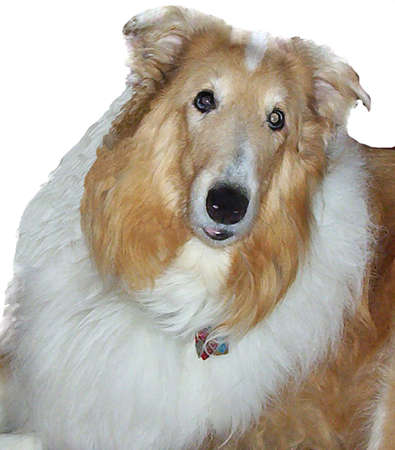 Collie face isolated from background and dry brushed Stock Photo