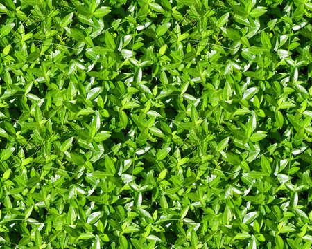 green groundcover leaves