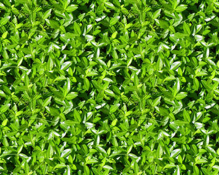 groundcover: green groundcover leaves
