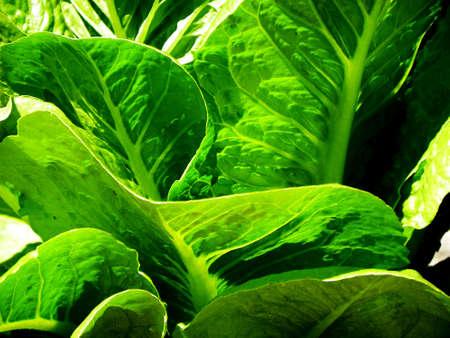 lettuce, horizontal format Stock Photo