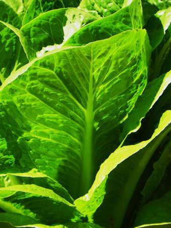 lettuce, vertical format Stock Photo