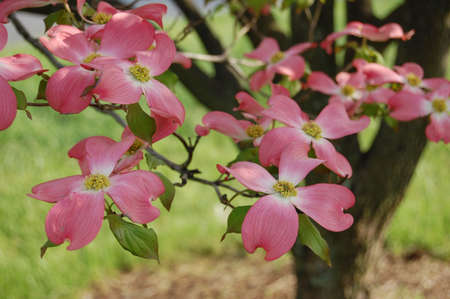 Dogwood Tree Stock Photo - 7294706