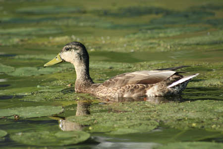 waddling: Brown duck floating on lily pad covered pond