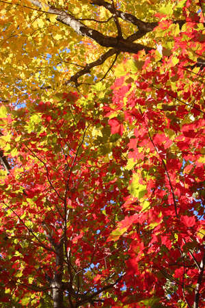 Red and yellow canopy of autumn leaves good for background or texture Stock Photo - 8080409