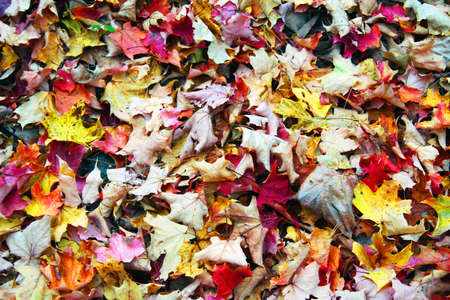 Colorful dried autumn leaves ready for raking Stock Photo - 8080401