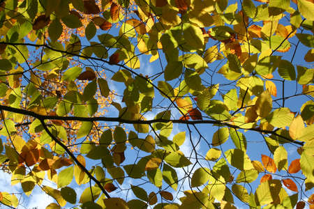 Yellow and green leaves against blue sky Stock Photo - 8080163