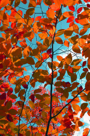 Colorful red autumn leaves overhead against blue sky photo