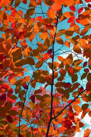 Colorful red autumn leaves overhead against blue sky Standard-Bild