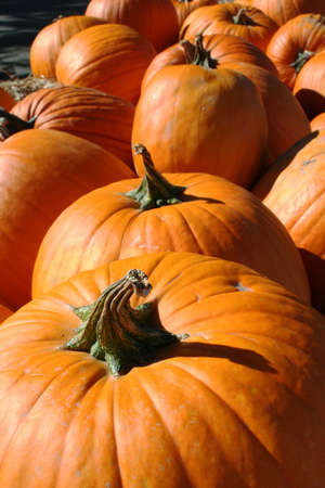 Multiple orange pumpkins with twisted stems in sunshine Stock Photo - 8079977