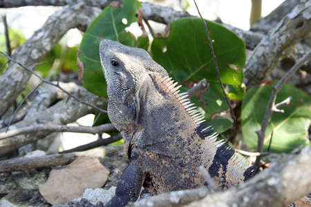 Iguana in jungle near beach in Mexico Stock Photo - 8169400