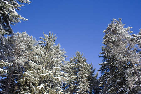Tall evergreen trees with snow covered branches against blue sky