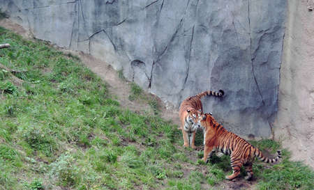 Tigers stand off and challenge each other Standard-Bild