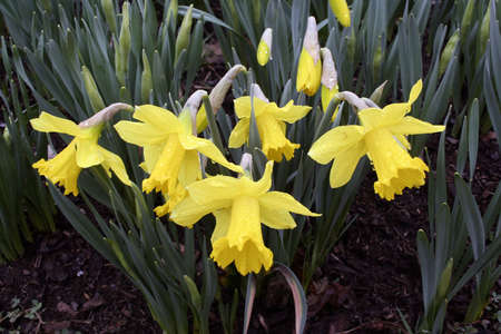 Spring flowers daffodils in bloom heavy with raindrops Standard-Bild
