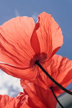 Spring flowers red poppies from underneath blossom with blue sky Standard-Bild