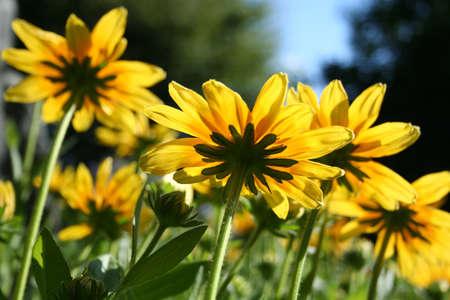Summer daisies in sunlight view from underside Standard-Bild