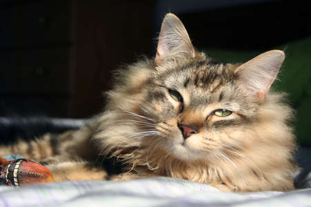 Serene Maine coon cat laying with toy