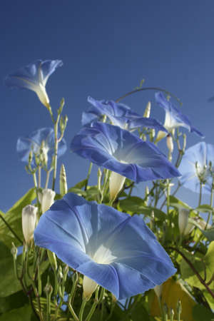 Blue morning glory blooms reach to the sky