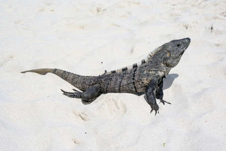 lizard or iquana on sand at mexican beach Standard-Bild