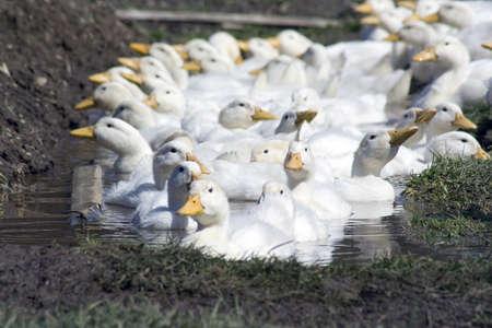 white ducks on farm raised for meat and eggs Standard-Bild