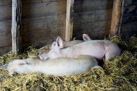 Pigs asleep on hay in barn on farm