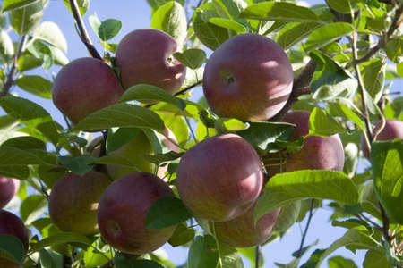 Juicy rote Äpfel an den Bäumen im Obstgarten Standard-Bild - 11041876