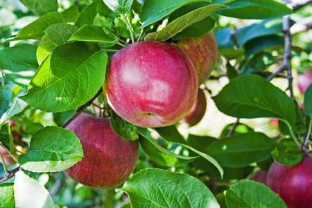 Juicy red apples on trees in orchard