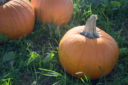 Bright orange pumpkins at farm stand photo