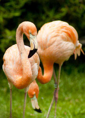 Two colorful caribbean flamingos stand together at zoo