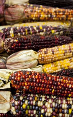 Colorful dried corn ears for decoration in autumn photo