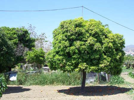 dropped: �rboles anaranjados con las naranjas ca�das en el limassol Chipre. Foto de archivo