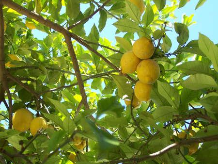 lemon tree: Lemon Tree cerca en la parte inferior.
