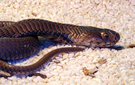 Highly poisonous South African Black Mamba snake