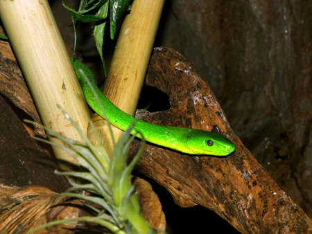 poisonous: Poisonous Southern Africa Green Mamba snake in tree