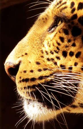Geïsoleerde close-up foto van zijprofiel van Leopard gezicht Stockfoto