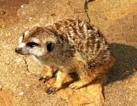 Southern African Meerkat with pleading eyes photo