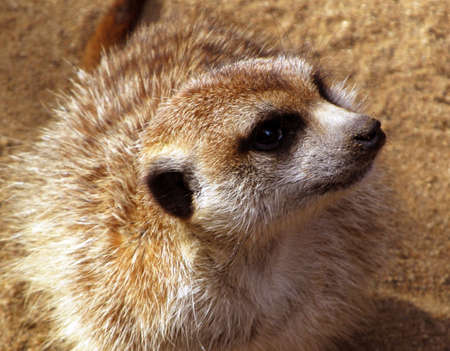 Cute Southern African Meerkat on the lookout photo