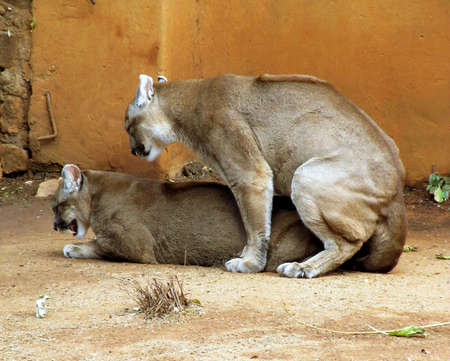 captivity: Picture of Pumas in captivity busy mating