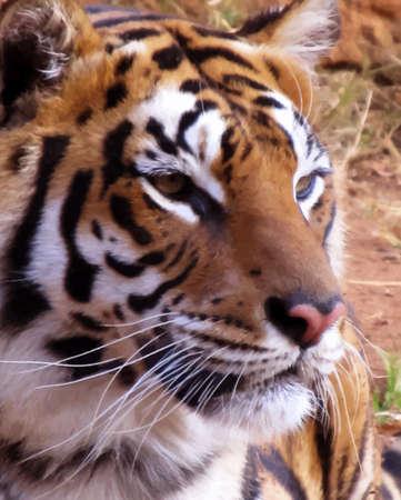 animal nose: Primer plano del rostro de Tigre con expresi�n suave Vector Vectores