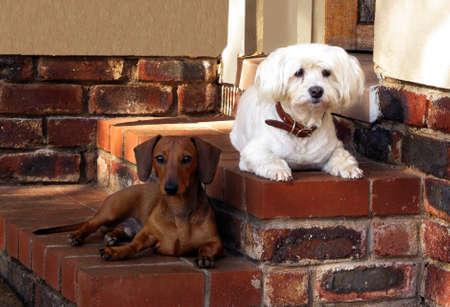 Haustier-Freunde Malteser und Zwergdackel Guarding Haus Standard-Bild