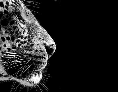 fondo blanco y negro: Aislado en blanco y negro tarjeta de la cara del leopardo