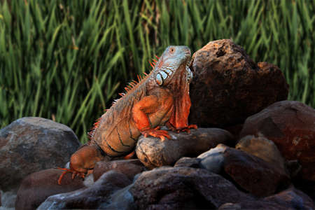 Picture of a Giant Iguana on Rocks with Natural Background photo