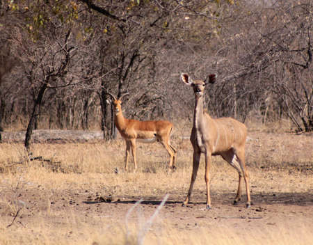 Alert Kudu Ewe and Impala Ram Listening Nervously photo